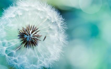 Лечебная настойка готовится из сухих цветков одуванчика