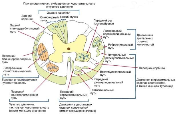Центральная нервная система, как компьютер, отвечает за все процессы, которые происходят в организме