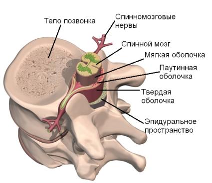 Размещение спинного мозга в позвонке