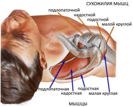 Анатомия плеча человека
