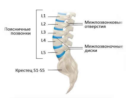 Поясничный отдел позвоночника имеет строение из пяти самых крупных позвонков в организме