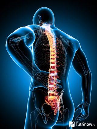 Внизу спины расположено много органов