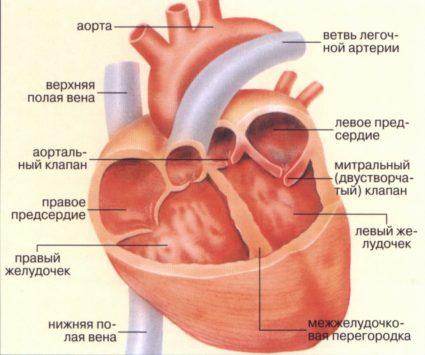 Сердечная мышца имеют схожие молекулы на сам стрептококк