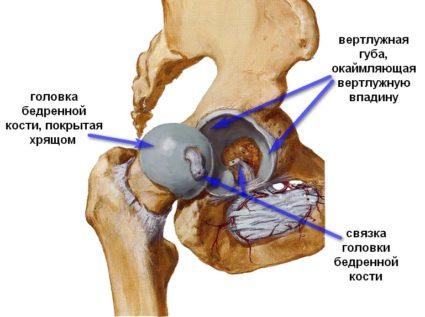 Структурно сустав состоит из тазовой кости