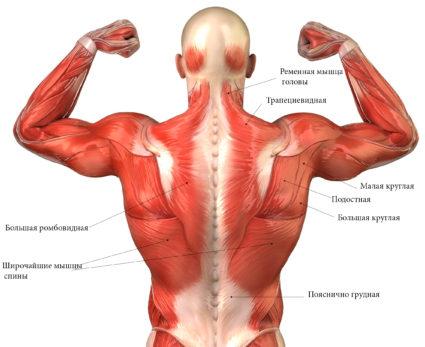 Широчайшие мышцы спины являются одними из наиболее важных для поддержания осанки