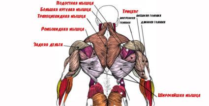 Анатомия мышц спины позволяет человеку прямо ходить и двигать руками