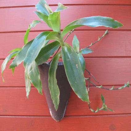 Благодаря ценным качествам, растение считается универсальным лекарством от большинства заболеваний