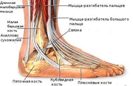 Строение стопы и ее анатомо-физиологические свойства