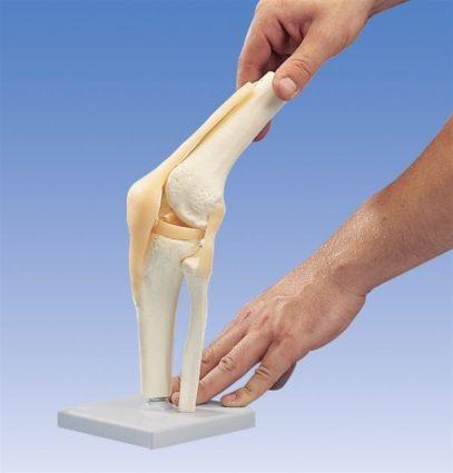 Коленный сустав строение, функции. патологическая физиология