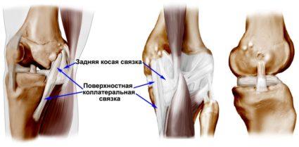 Коленный сустав, его строение, зависимость от анатомии