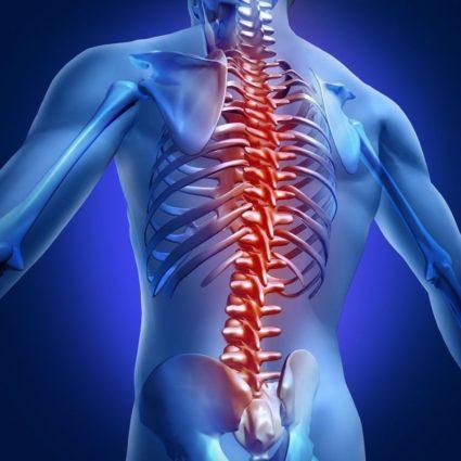 Хребет выполняет сразу две функции: опоры и защиты спинного мозга