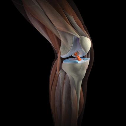 Коленный сустав имеет систему связок и мышц