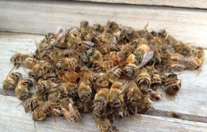 Подмор пчелиный для суставов – методы использования препарата