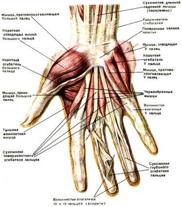 Анатомия кисти