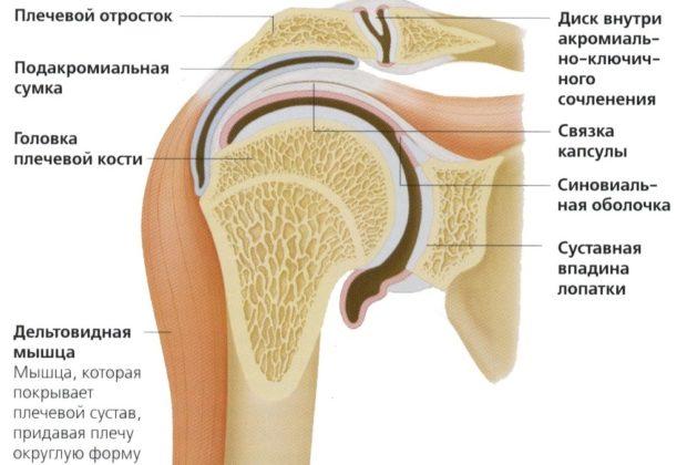 Плечо человеческого скелета