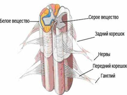 Спинной мозг располагается в позвоночномканале позвоночника