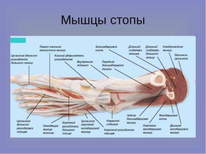 Встречаются ступни с меньшим либо большим количеством косточек по сравнению с нормой