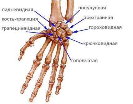 Кисть руки: анатомия и функциональность имеют свои особенности