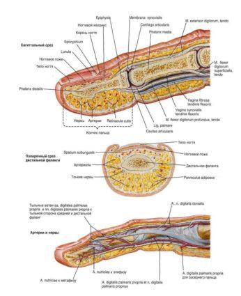 Наиболее частыми травмами являются переломы фаланг пальцев