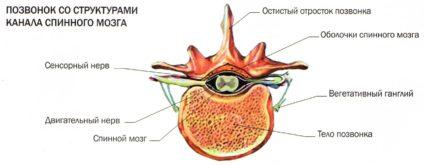 Внутри позвоночного столба проходит спинной мозг