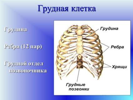 Строение грудной клетки человека и ее особенности