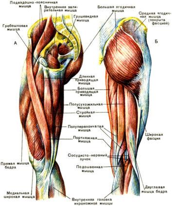 Именно благодаря мышцам, ноги имеют красивую форму,