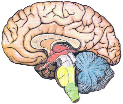 Задачи нейронов состоят в обработке, хранении и передаче информации