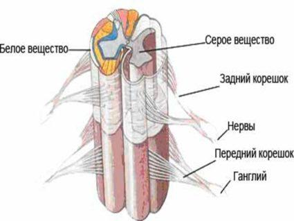 Строение спинного мозга и его оболочек