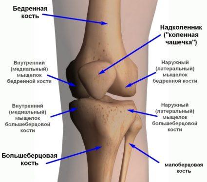 Строение колена - самого сложного сустава