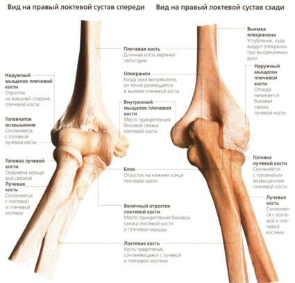 В локтевом суставе сочленяются три кости