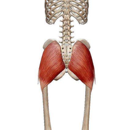 Анатомия крестцовой кости человека включает и место крепления мышц
