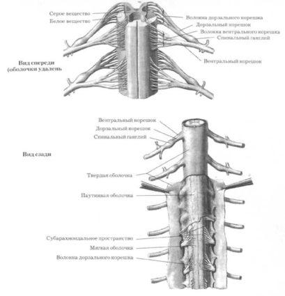 Артерии сопровождают орган на всем его протяжении