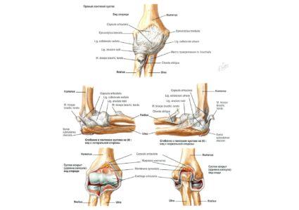 Локтевой сустав: анатомия и строение