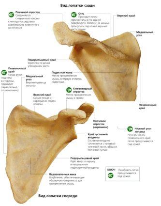 Лопатка анатомия