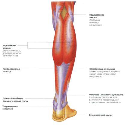 Анатомия ноги человека, ее особенности