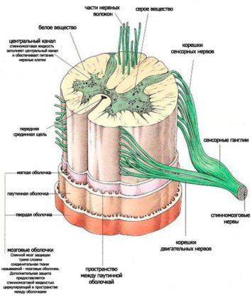 Как у головного, строение мозга (спинного) состоит из серого и белого вещества, клеток нейронов, отростков