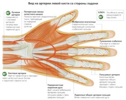 Артерии левой кисти