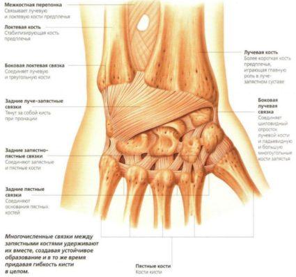 Мышцы на ладони позволяют сгибать и разгибать пальцы