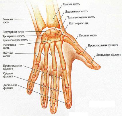 Запястье слаживается из восьми различных косточек