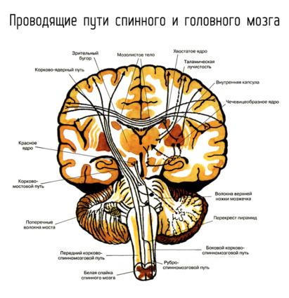 Связь головного и спинного мозга благодаря нейронам