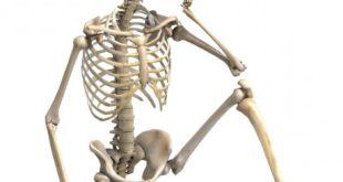 Скелет состоит из большого количества костей