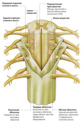 анатомия спинного мозга
