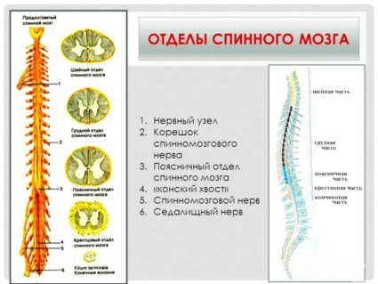 Спинной мозг разделен на несколько отделов