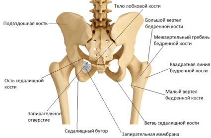 соединение костей таза