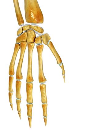 Благодаря разным соединениям суставов мы можем двигаться