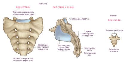 крестец анатомия