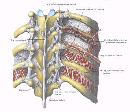 Ребра человека - защита для сердца и легких