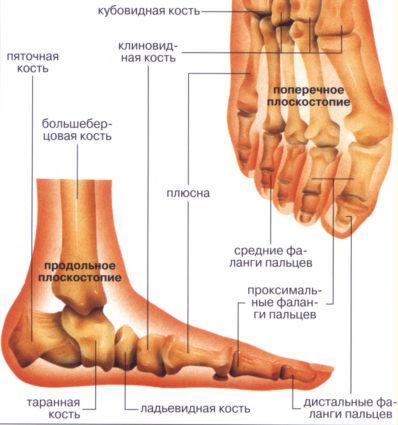 Стопа человека - анатомия