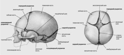 Мозги человека расположены в черепе