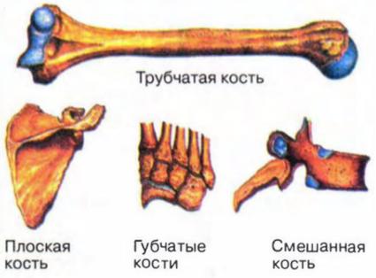 виды костей